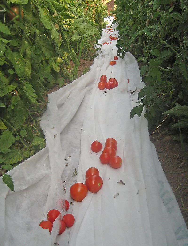 Row of tomatoes