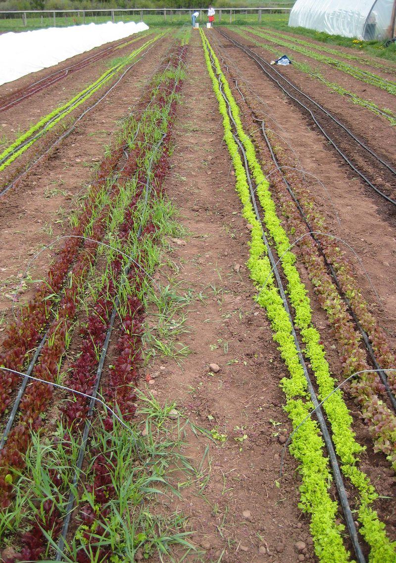 Salad rows