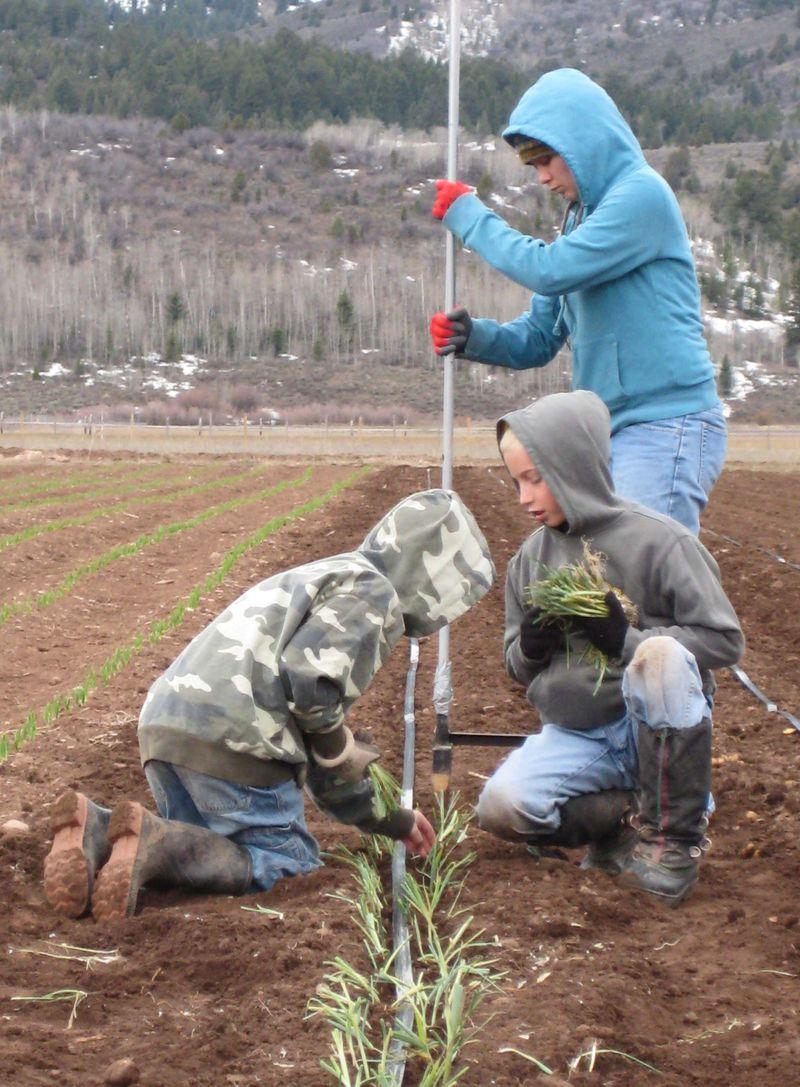 Planting leeks1