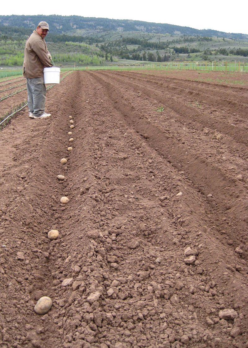 Shainpotatoes