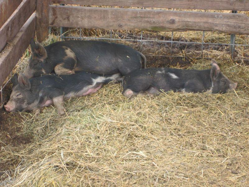 2010 piglets