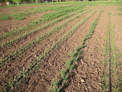 Field 2 onion leeds 6:20
