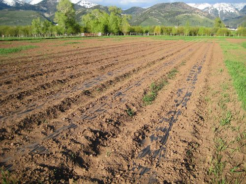 Field 3 potatoes 6:20