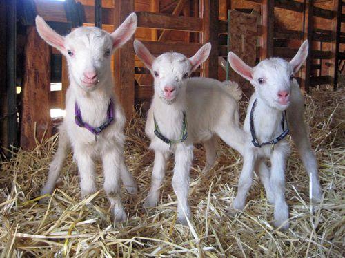 Goat kids 6:18