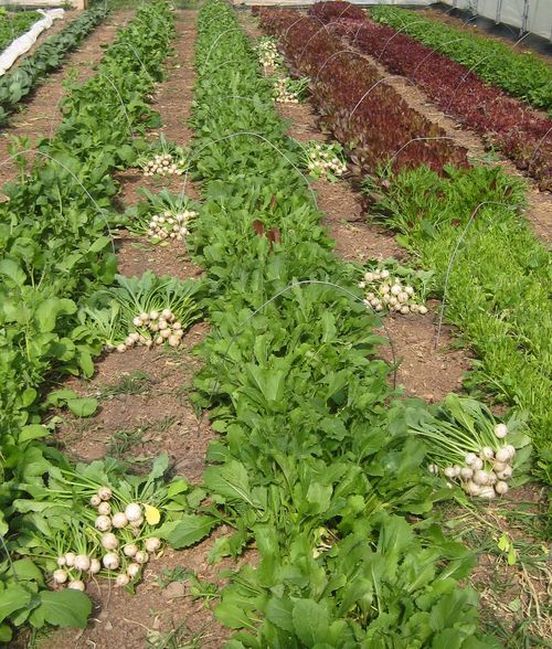 Piles of turnips