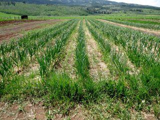 Garlic not weeded June 10