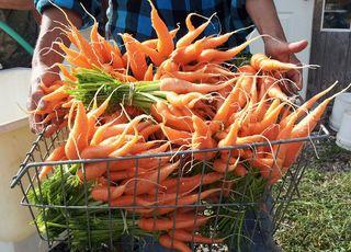 Carrots 7:31