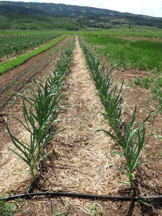 Garlic Weeded June 10