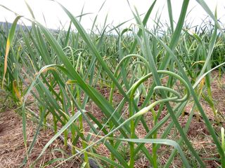 Garlic scapes july 1