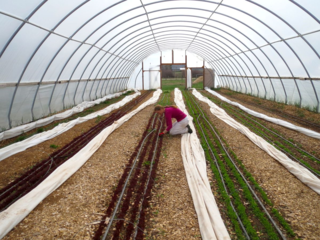 Tara weeding greenhouse 7
