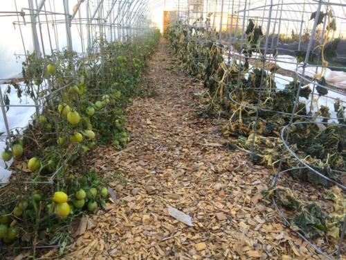 Dead tomatoes:cucumbers