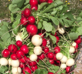 Radishes:turnips