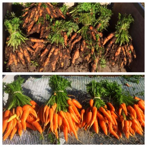 Muddy carrots