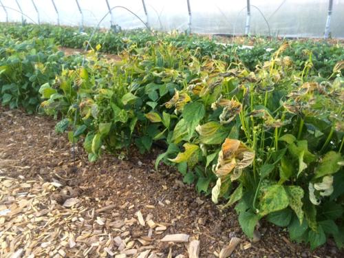 Frozen bean plants
