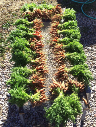 Bbunched carrots