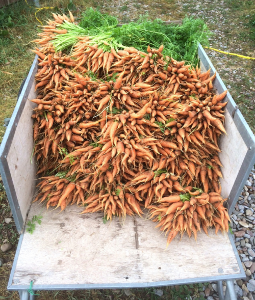 Cart of carrots