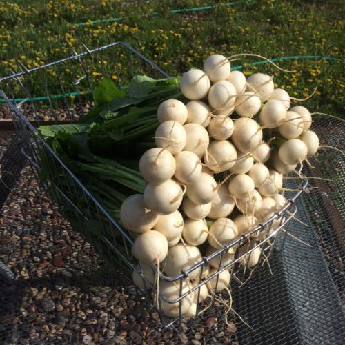 Japanese Turnips