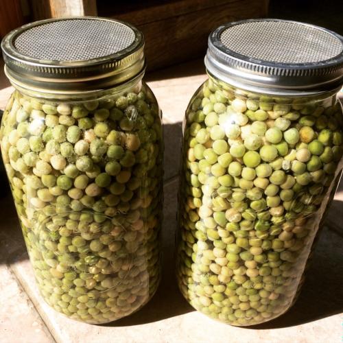 Soaking peas