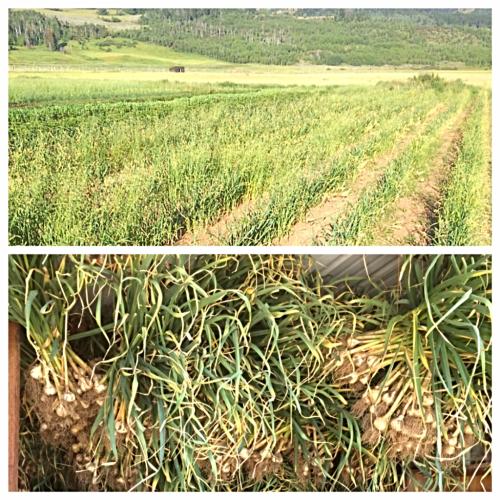 Garlic harvest 1