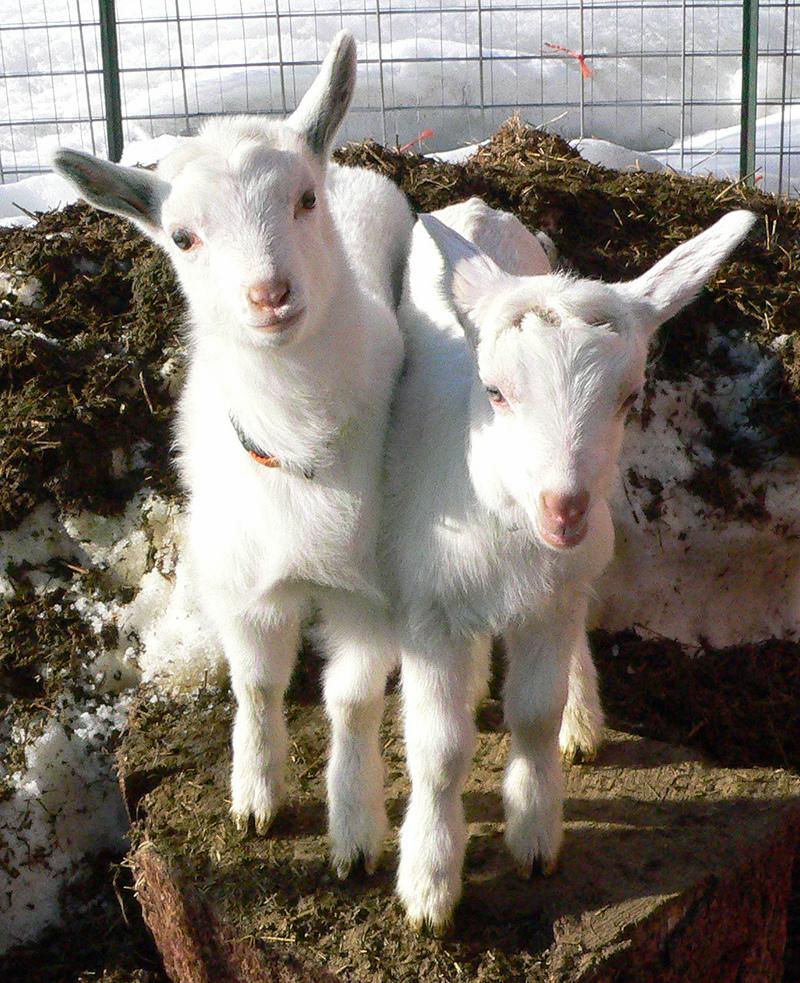 2_goats