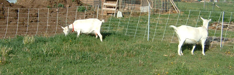Goats_on_pasture_2