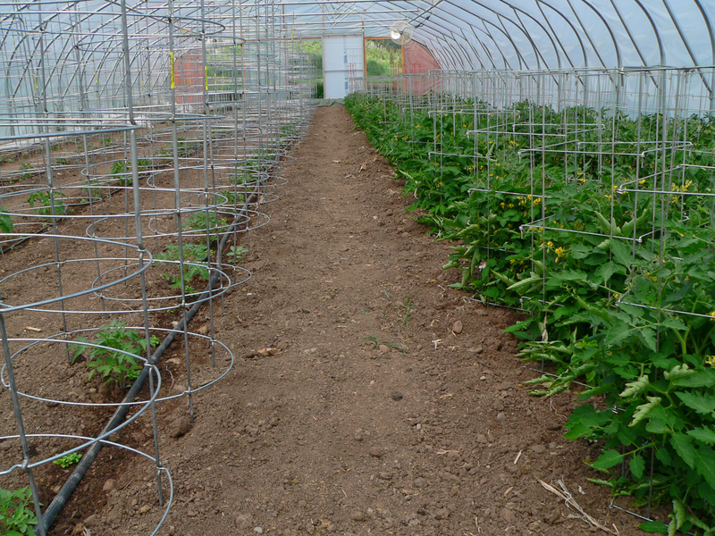 Tomato_caged